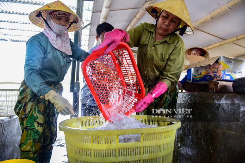 Ra khơi bắt con nhơn nhớt lại nhiều chân, ngư dân Thanh Hóa có tiền triệu - Ảnh 8.