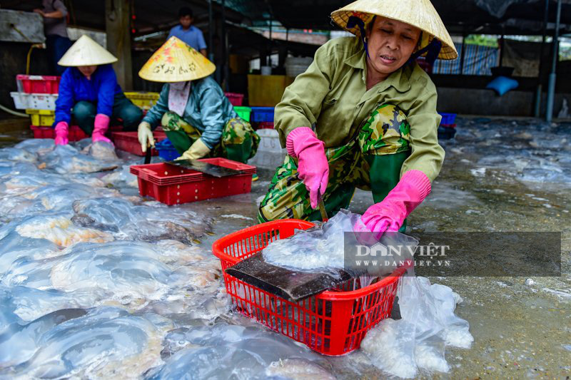 Ra khơi bắt con nhơn nhớt lại nhiều chân, ngư dân Thanh Hóa có tiền triệu - Ảnh 4.