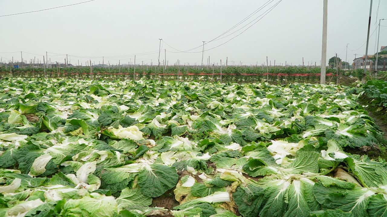Hà Nội: Nông dân có thực sự cần giải cứu nông sản? - Ảnh 3.