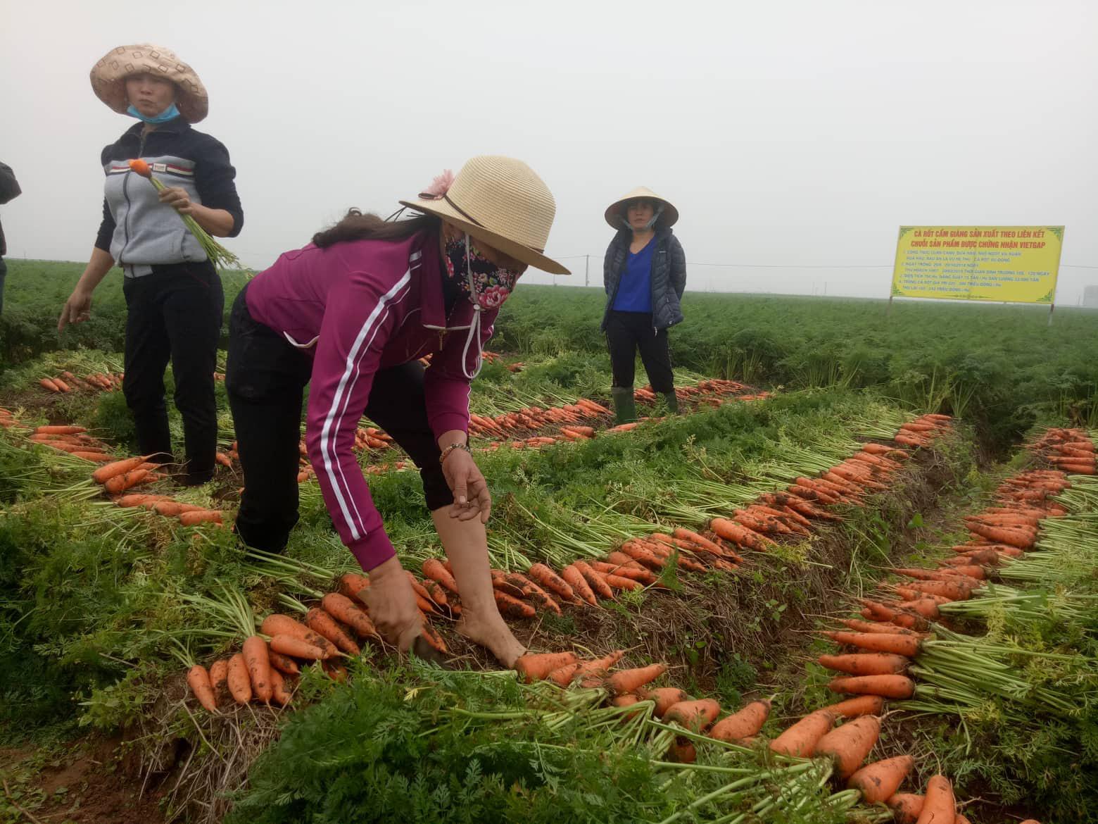 Ông chủ thu mua cà rốt nhiều nhất Cẩm Giàng: Khách Hàn, Nhật thích ăn cà rốt Hải Dương, tiếc là… - Ảnh 3.