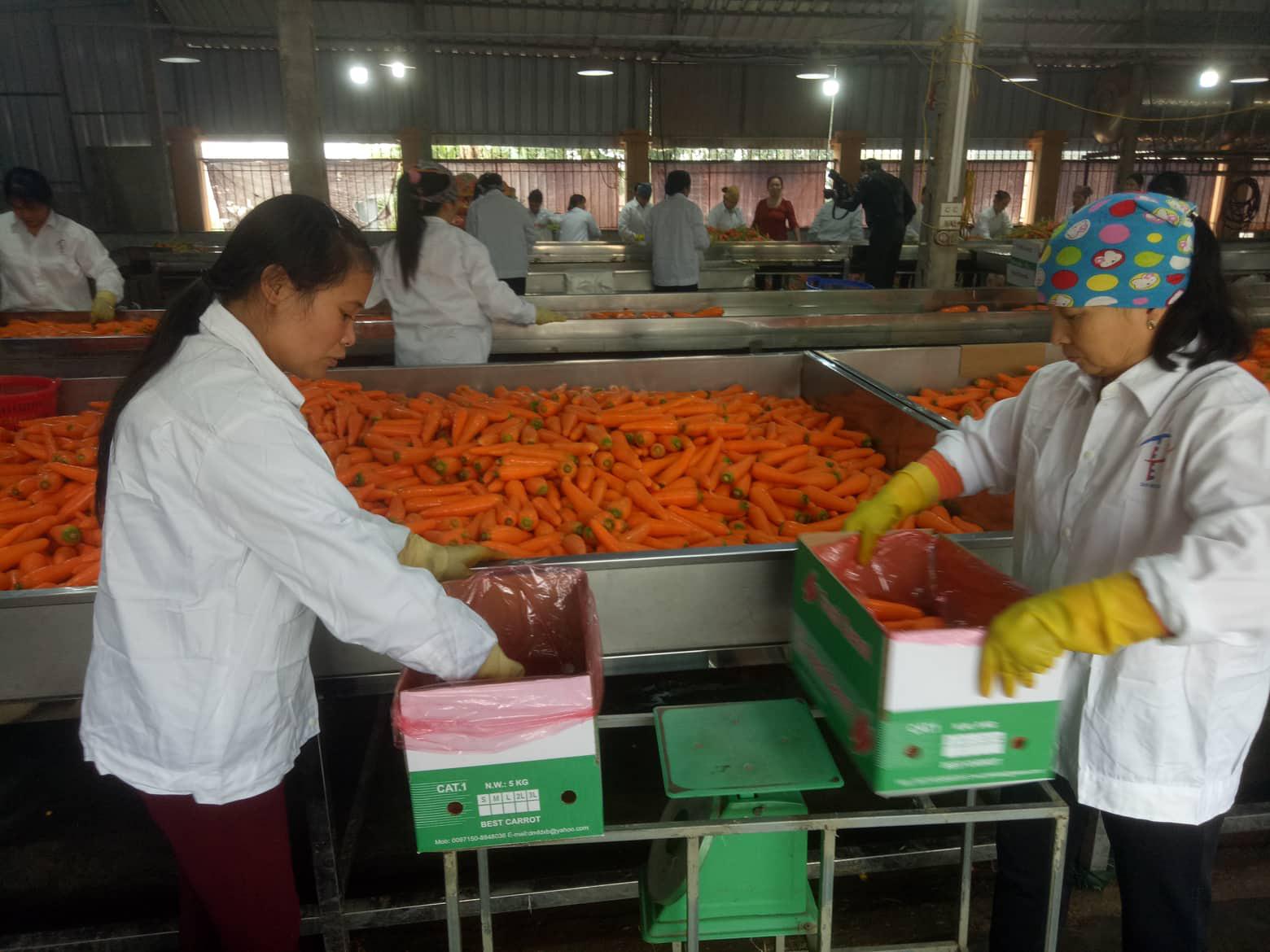 Ông chủ thu mua cà rốt nhiều nhất Cẩm Giàng: Khách Hàn, Nhật thích ăn cà rốt Hải Dương, tiếc là… - Ảnh 1.