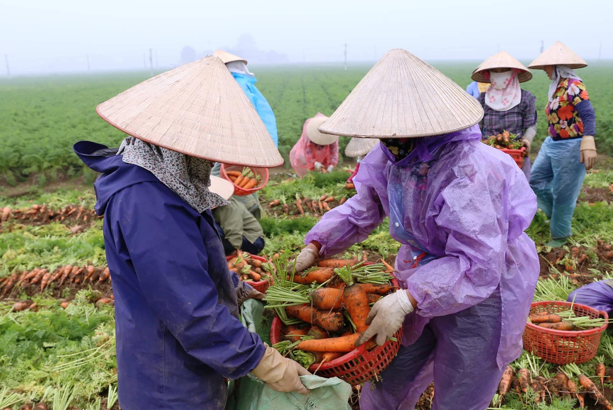 Ông chủ thu mua cà rốt nhiều nhất Cẩm Giàng: Khách Hàn, Nhật thích ăn cà rốt Hải Dương, tiếc là… - Ảnh 5.
