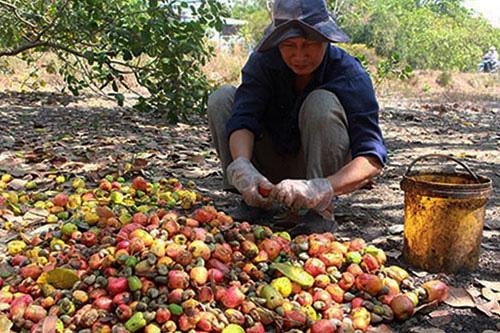Bình Thuận: Đã gần hết tháng Giêng, vì sao một ông nông dân chưa khoe thứ trái có hạt lộn ra ngoài trên facebook? - Ảnh 1.