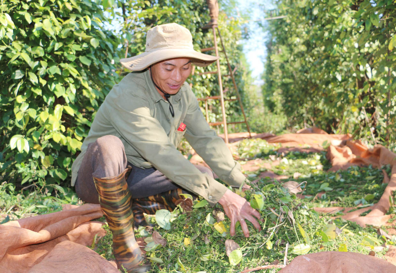 Giá tiêu hôm nay tăng mạnh, sát 58.000 đồng/kg, có lãi nhưng nhiều chủ vườn vẫn không dám làm điều này - Ảnh 5.