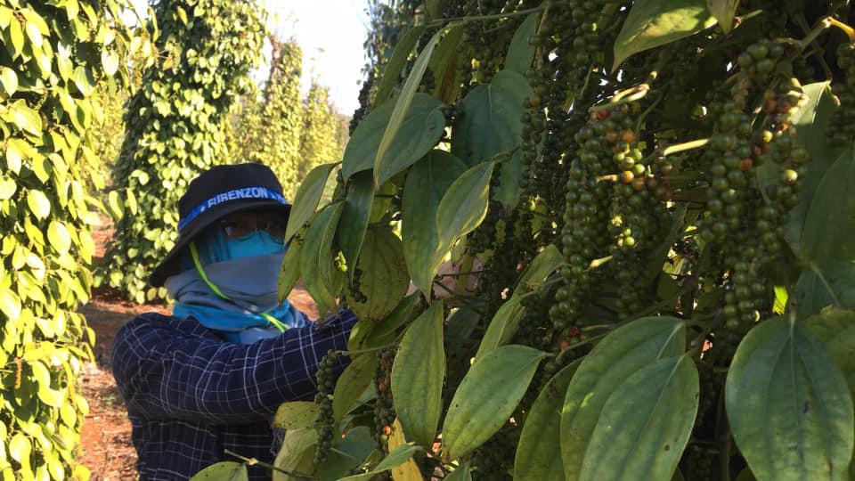 Giá tiêu hôm nay tăng mạnh, sát 58.000 đồng/kg, có lãi nhưng nhiều chủ vườn vẫn không dám làm điều này - Ảnh 3.