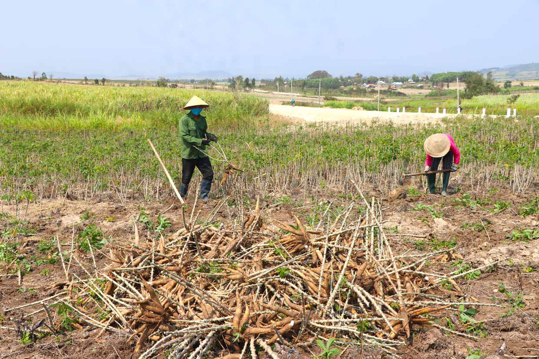 Gia Lai: Giá mì tăng cao, ai cũng lãi khá nhưng vì sao ngành nông nghiệp khuyến cáo không ồ ạt trồng? - Ảnh 1.
