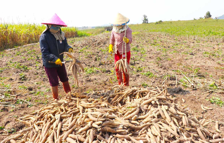 Gia Lai: Giá mì tăng cao, ai cũng lãi khá nhưng vì sao ngành nông nghiệp khuyến cáo không ồ ạt trồng? - Ảnh 2.