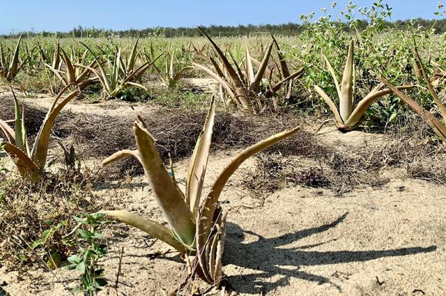 Quảng Ngãi: Dặt dẹo, hoang tàn những dự án đầu tư nông nghiệp  - Ảnh 3.