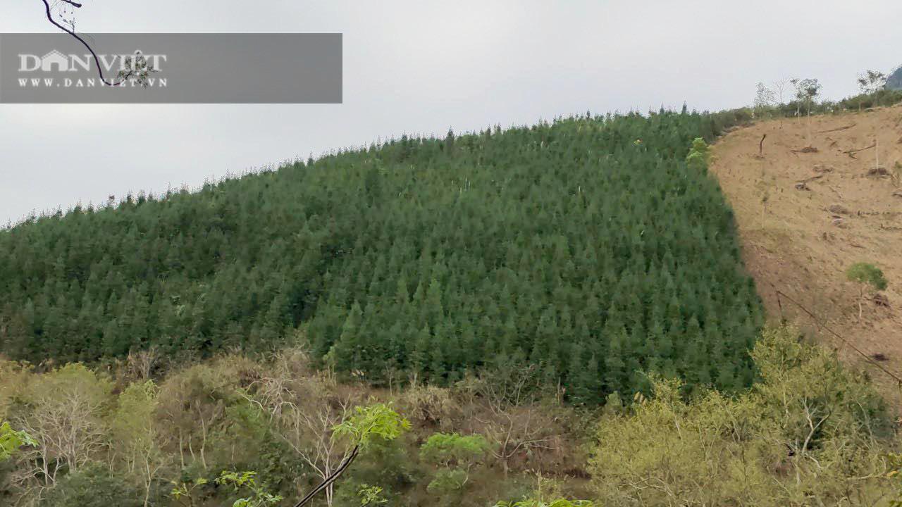 Không có người mua, 119ha cây sa mộc ở xã vùng biên Cốc Pàng có nguy cơ thành củi - Ảnh 4.
