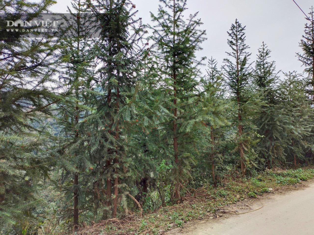 Không có người mua, 119ha cây sa mộc ở xã vùng biên Cốc Pàng có nguy cơ thành củi - Ảnh 5.