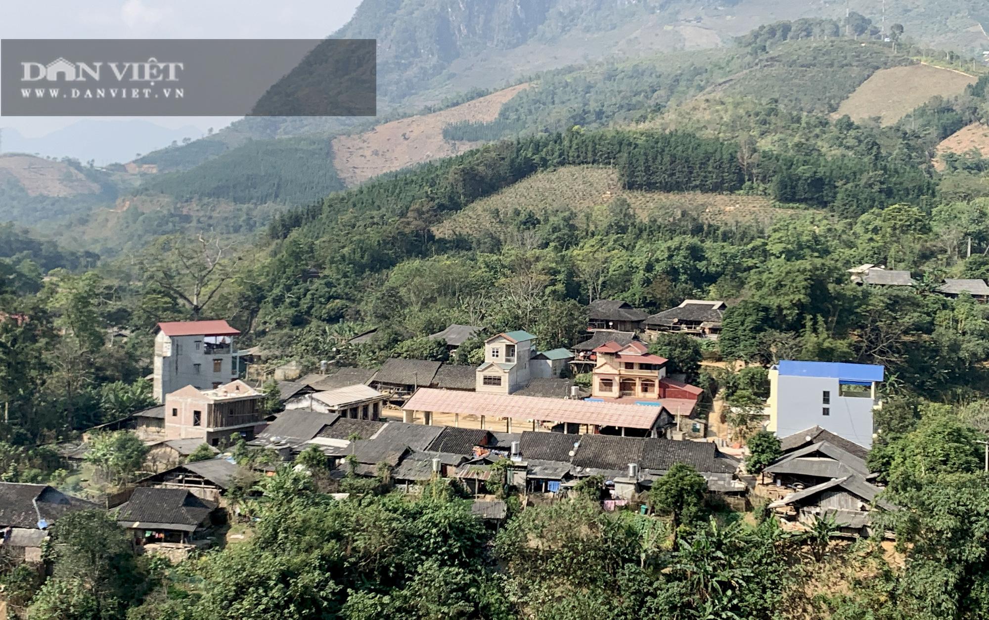 Không có người mua, 119ha cây sa mộc ở xã vùng biên Cốc Pàng có nguy cơ thành củi - Ảnh 1.
