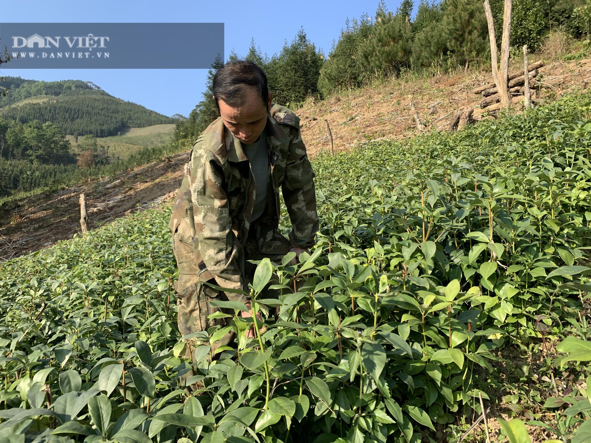 Không có người mua, 119ha cây sa mộc ở xã vùng biên Cốc Pàng có nguy cơ thành củi - Ảnh 2.