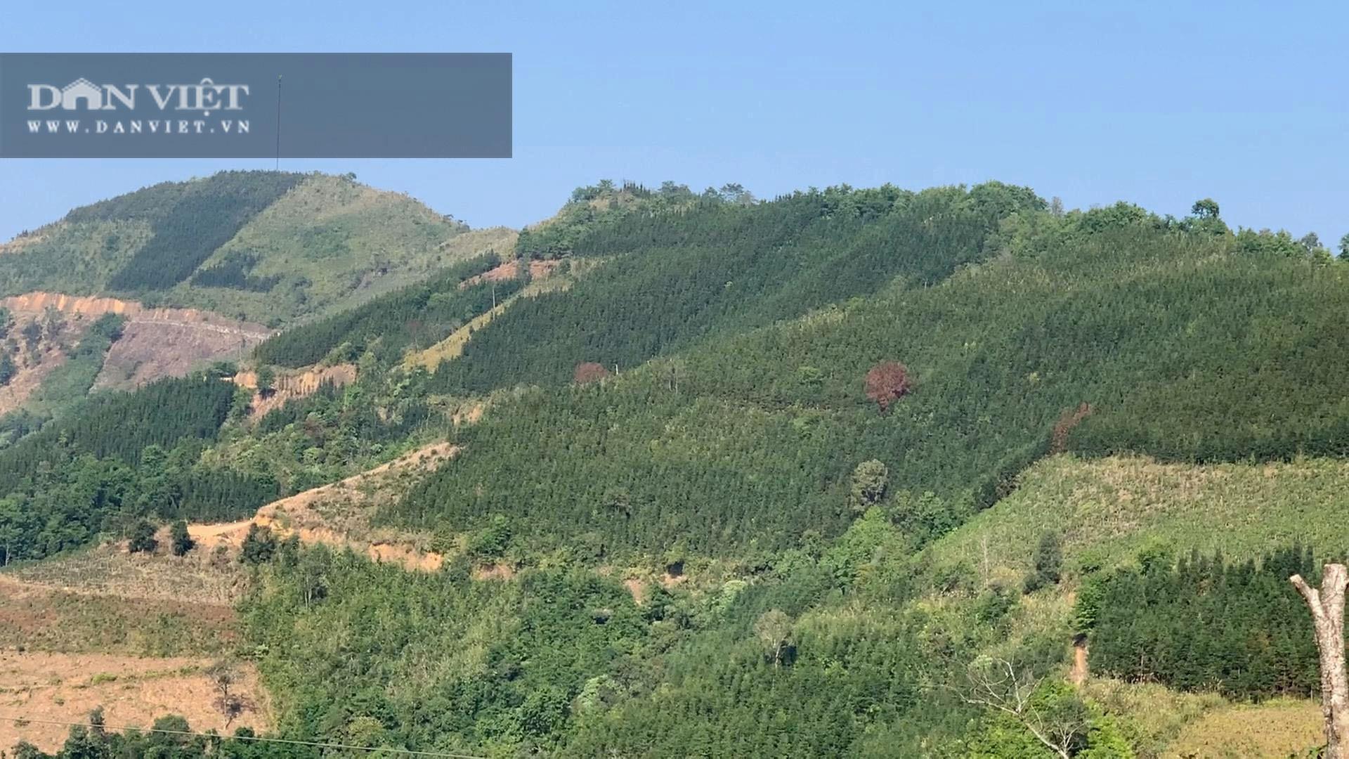Không có người mua, 119ha cây sa mộc ở xã vùng biên Cốc Pàng có nguy cơ thành củi - Ảnh 3.