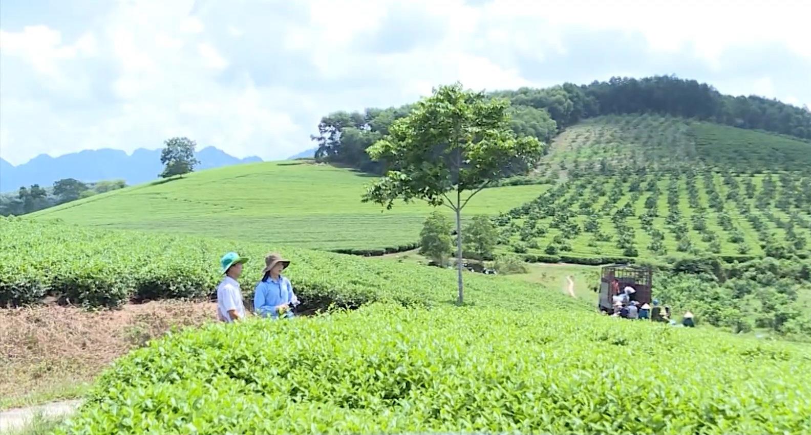Tuyên Quang: Thay đổi, nâng cao chất lượng chè nông sản, mỗi hộ thành viên thu về hơn 100 triệu/năm/hecta - Ảnh 2.