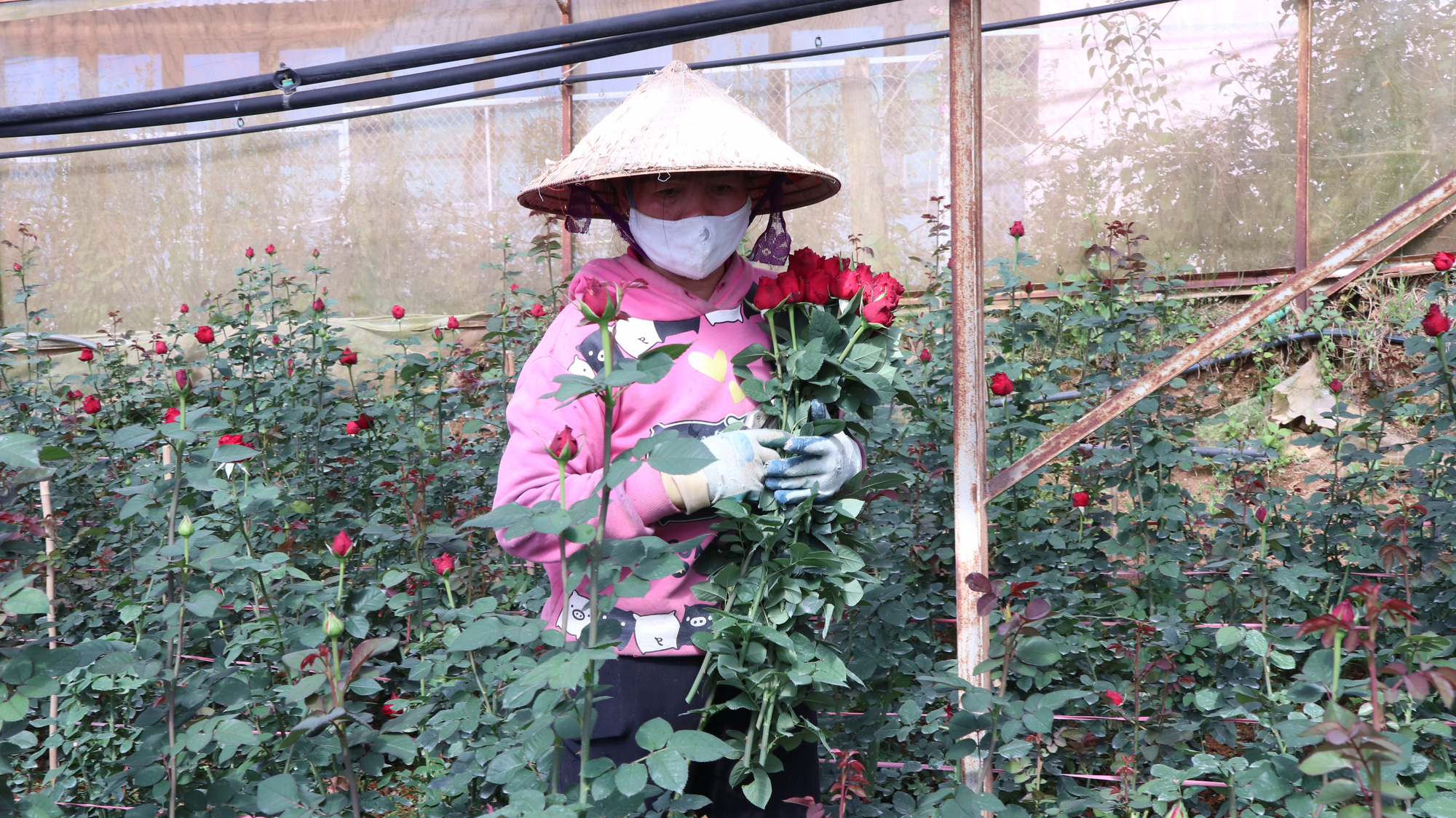 """Người dân phấn khởi thu hoạch hoa hồng cận ngày Quốc tế Phụ nữ, """"vớt vát"""" mùa Covid-19 - Ảnh 1."""