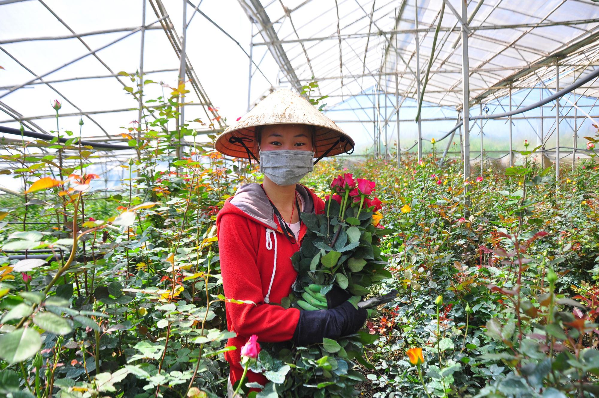 """Người dân phấn khởi thu hoạch hoa hồng cận ngày Quốc tế Phụ nữ, """"vớt vát"""" mùa Covid-19 - Ảnh 5."""