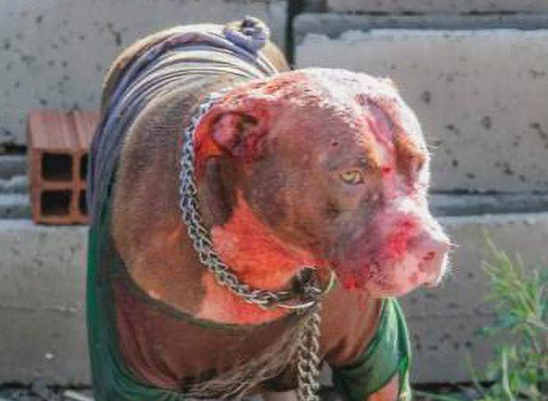 Bị 7 con chó Pitbull tấn công, người đàn ông xấu số bị cào nát mặt  - Ảnh 2.