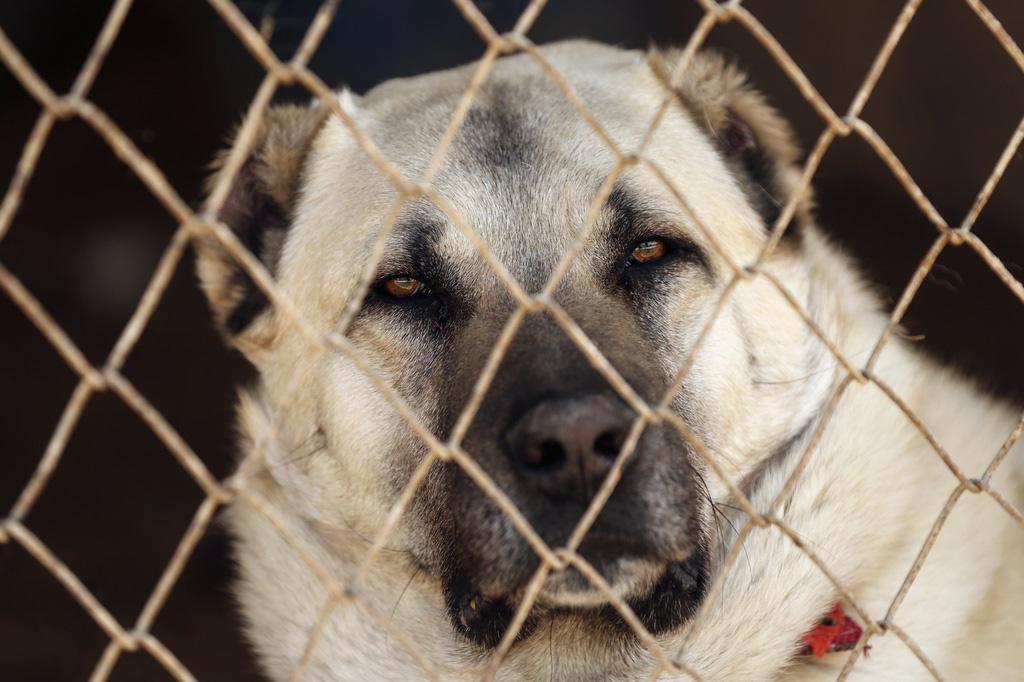 """Giống chó được mệnh danh là """"kẻ giết sói"""" - Ảnh 2."""