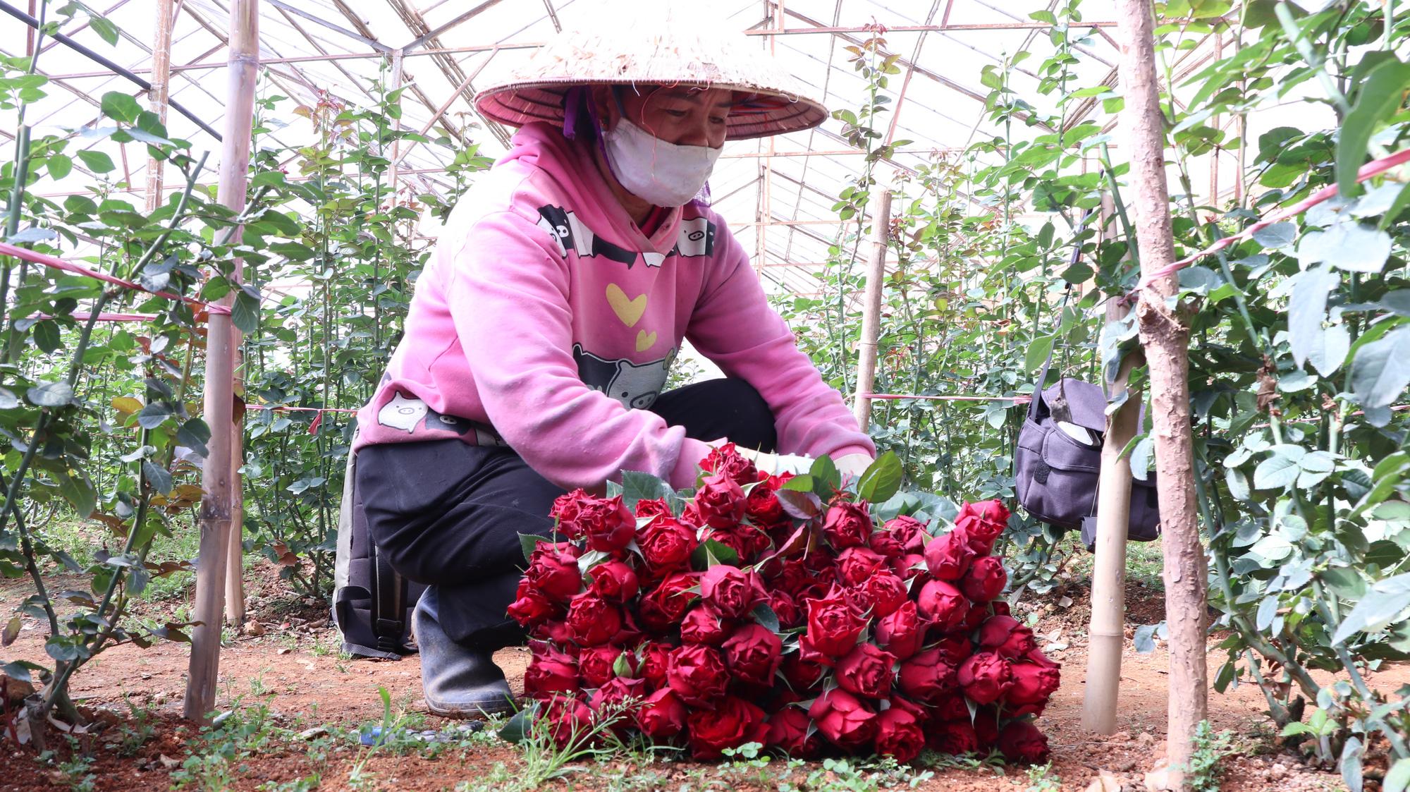 """Người dân phấn khởi thu hoạch hoa hồng cận ngày Quốc tế Phụ nữ, """"vớt vát"""" mùa Covid-19 - Ảnh 2."""