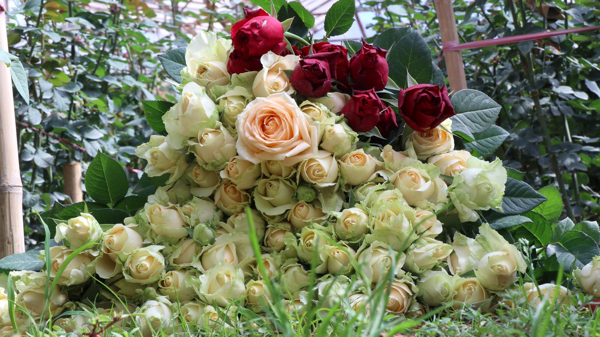 """Người dân phấn khởi thu hoạch hoa hồng cận ngày Quốc tế Phụ nữ, """"vớt vát"""" mùa Covid-19 - Ảnh 3."""