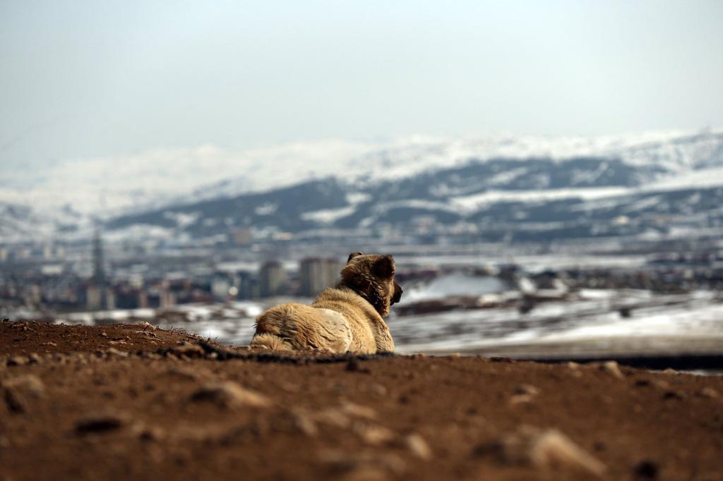 """Giống chó được mệnh danh là """"kẻ giết sói"""" - Ảnh 7."""