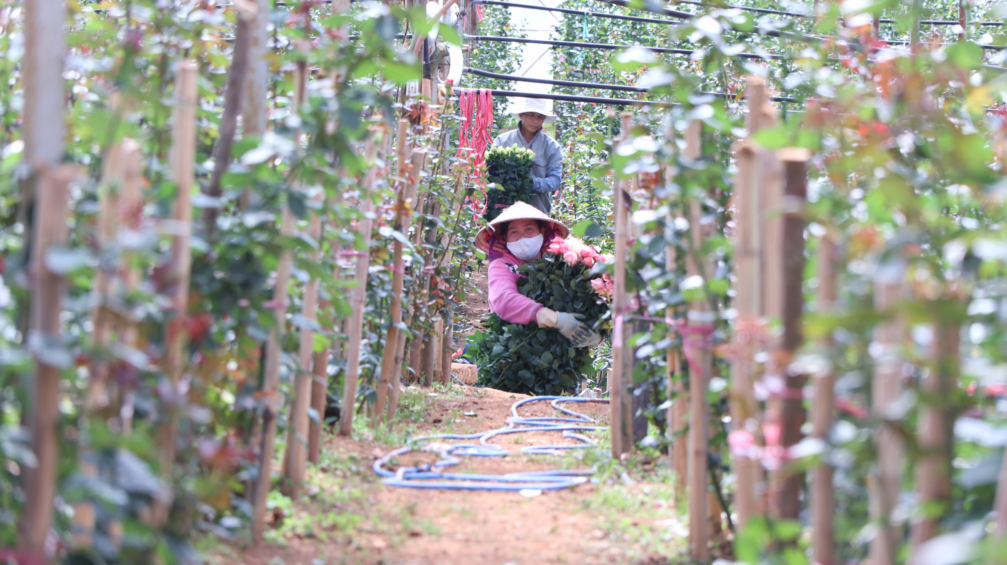 """Người dân phấn khởi thu hoạch hoa hồng cận ngày Quốc tế Phụ nữ, """"vớt vát"""" mùa Covid-19 - Ảnh 8."""