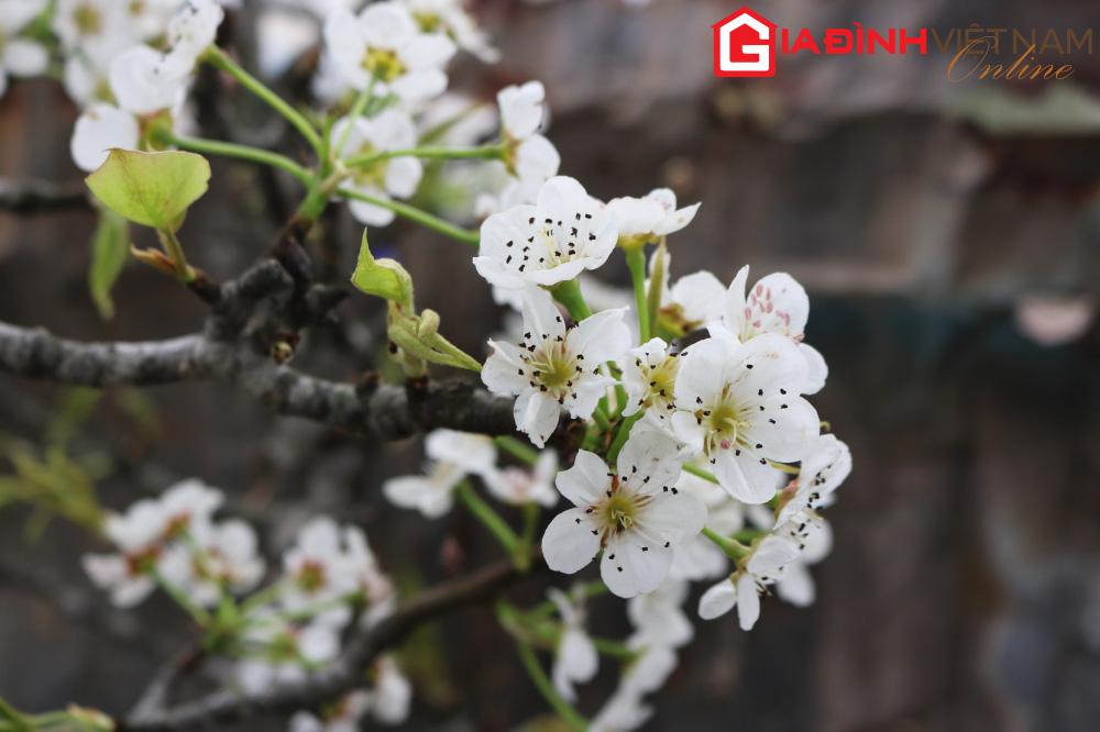 Người dân Hà Nội chen chân mua loài hoa trắng tinh khôi trưng nhà níu giữ sắc xuân - Ảnh 5.