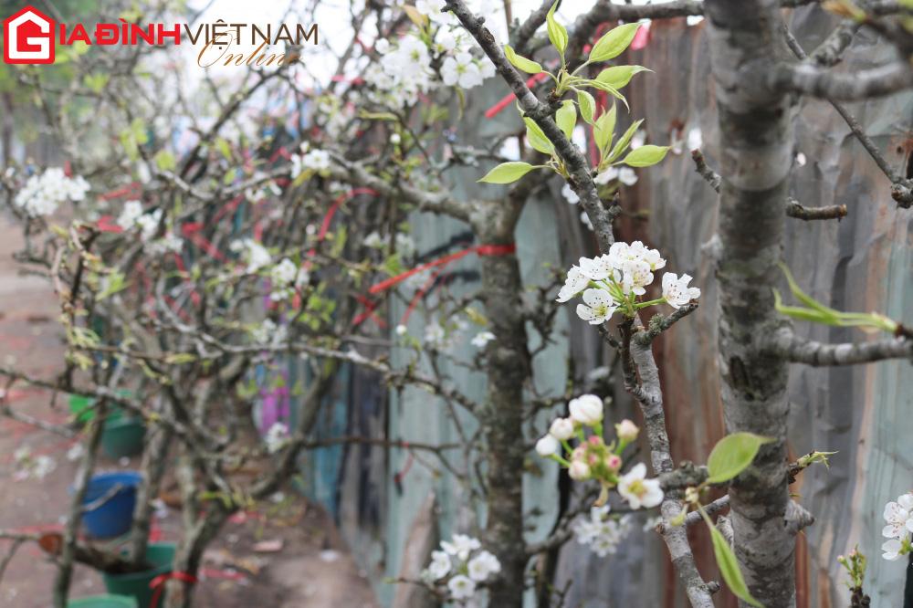 Người dân Hà Nội chen chân mua loài hoa trắng tinh khôi trưng nhà níu giữ sắc xuân - Ảnh 2.