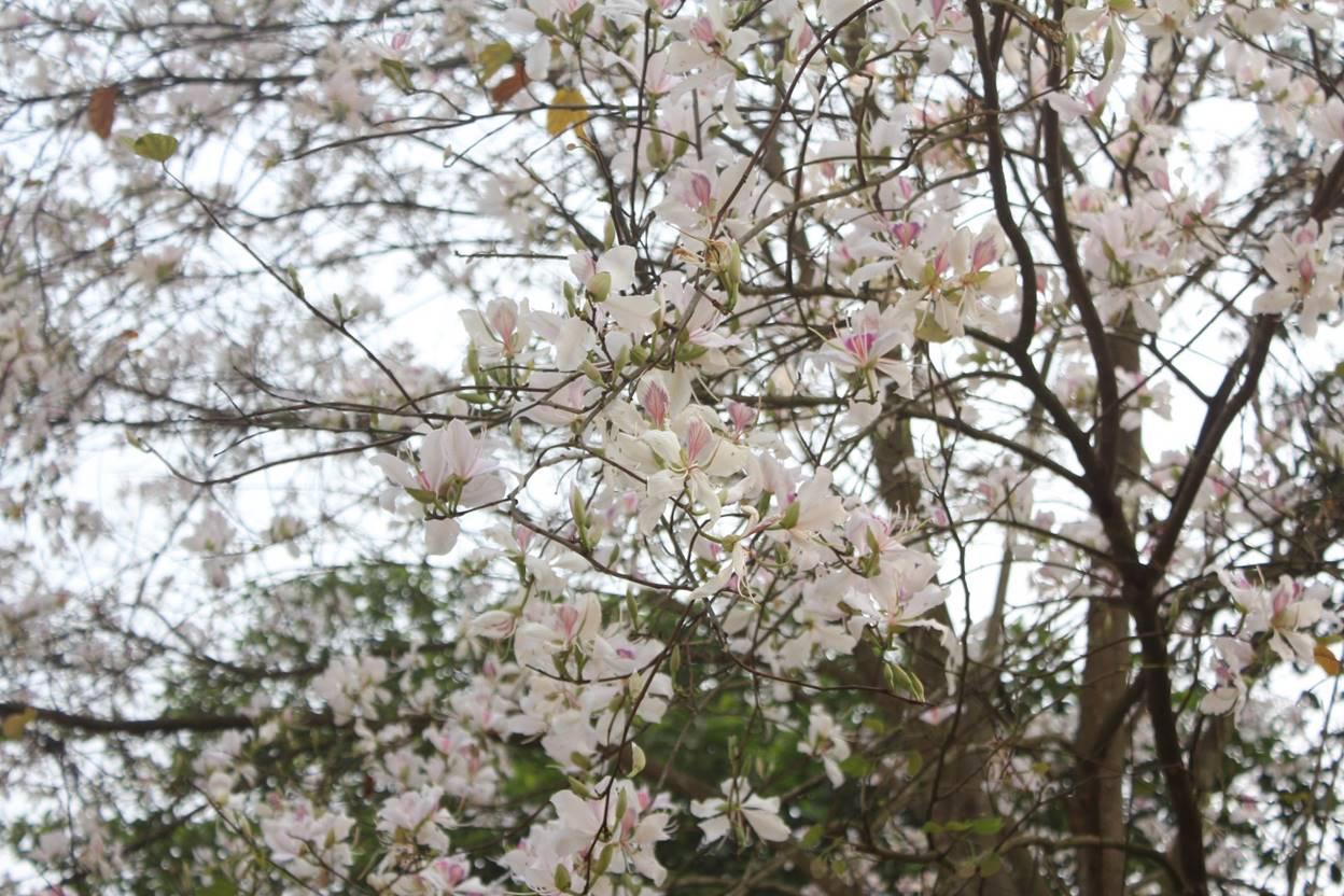 Điện Biên: Rực rỡ sắc hoa ban nở trắng núi rừng - Ảnh 6.