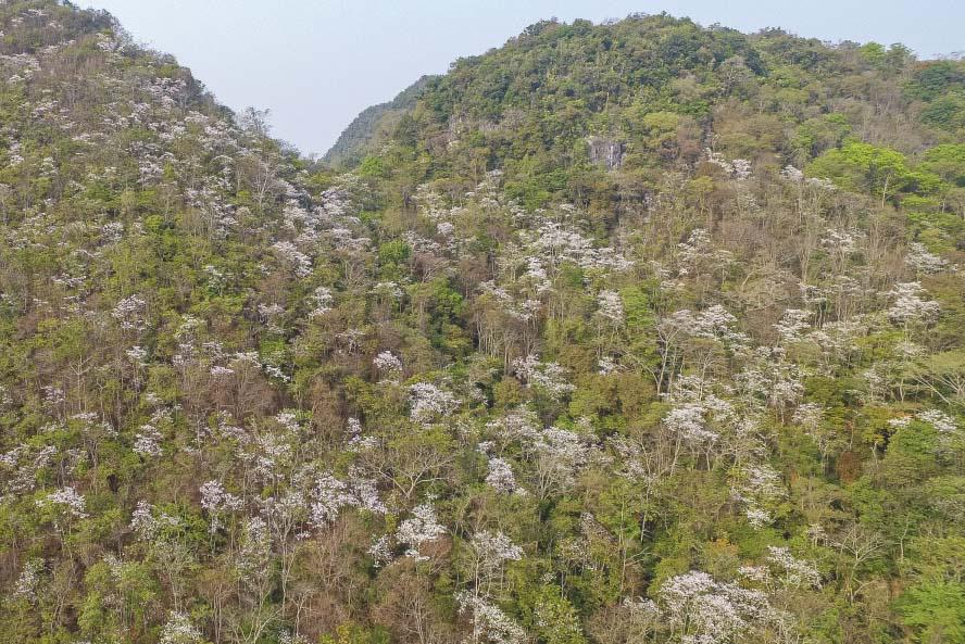Điện Biên: Rực rỡ sắc hoa ban nở trắng núi rừng - Ảnh 7.