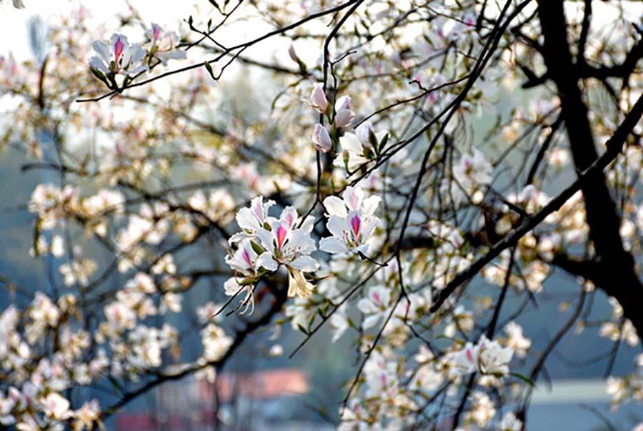 Điện Biên: Rực rỡ sắc hoa ban nở trắng núi rừng - Ảnh 5.