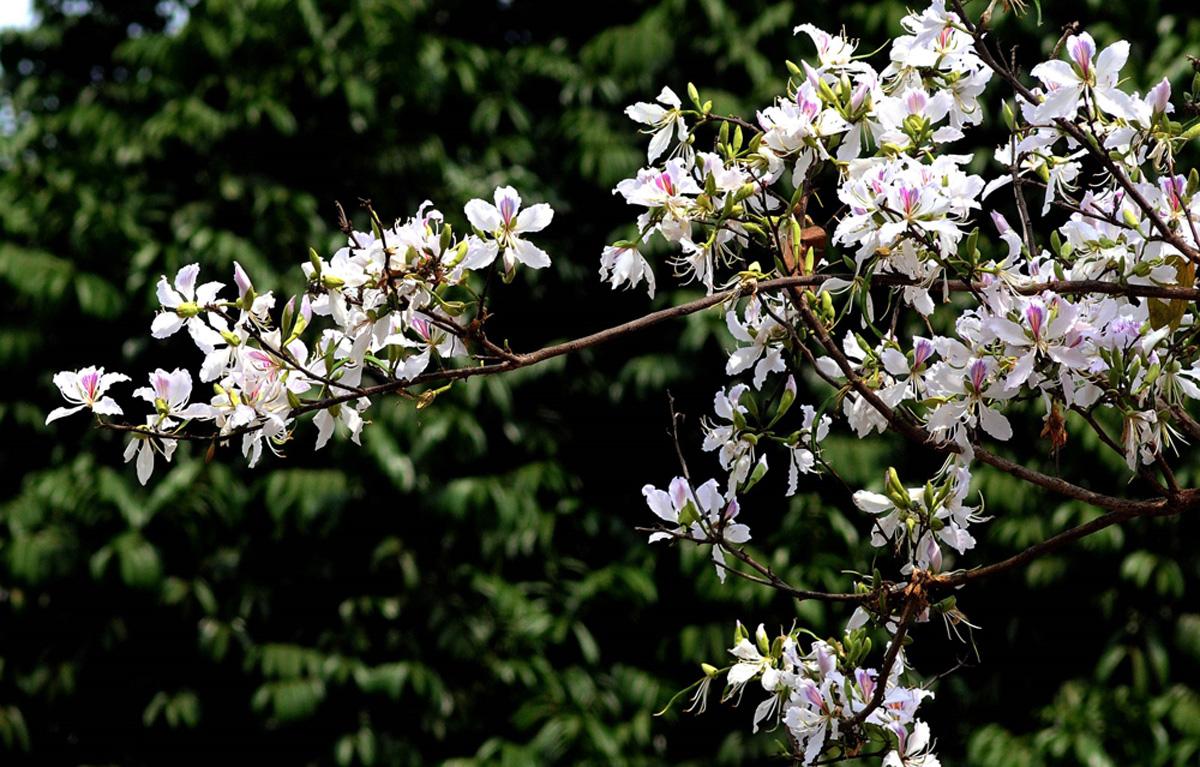 Điện Biên: Rực rỡ sắc hoa ban nở trắng núi rừng - Ảnh 1.