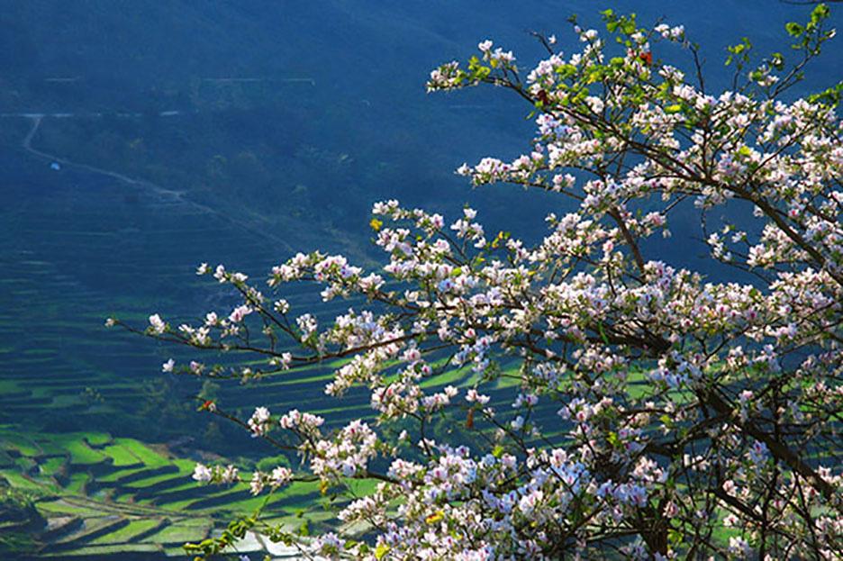 Điện Biên: Rực rỡ sắc hoa ban nở trắng núi rừng - Ảnh 8.