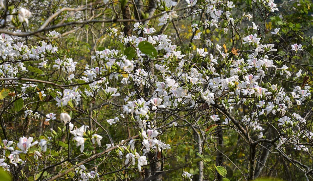 Điện Biên: Rực rỡ sắc hoa ban nở trắng núi rừng - Ảnh 2.