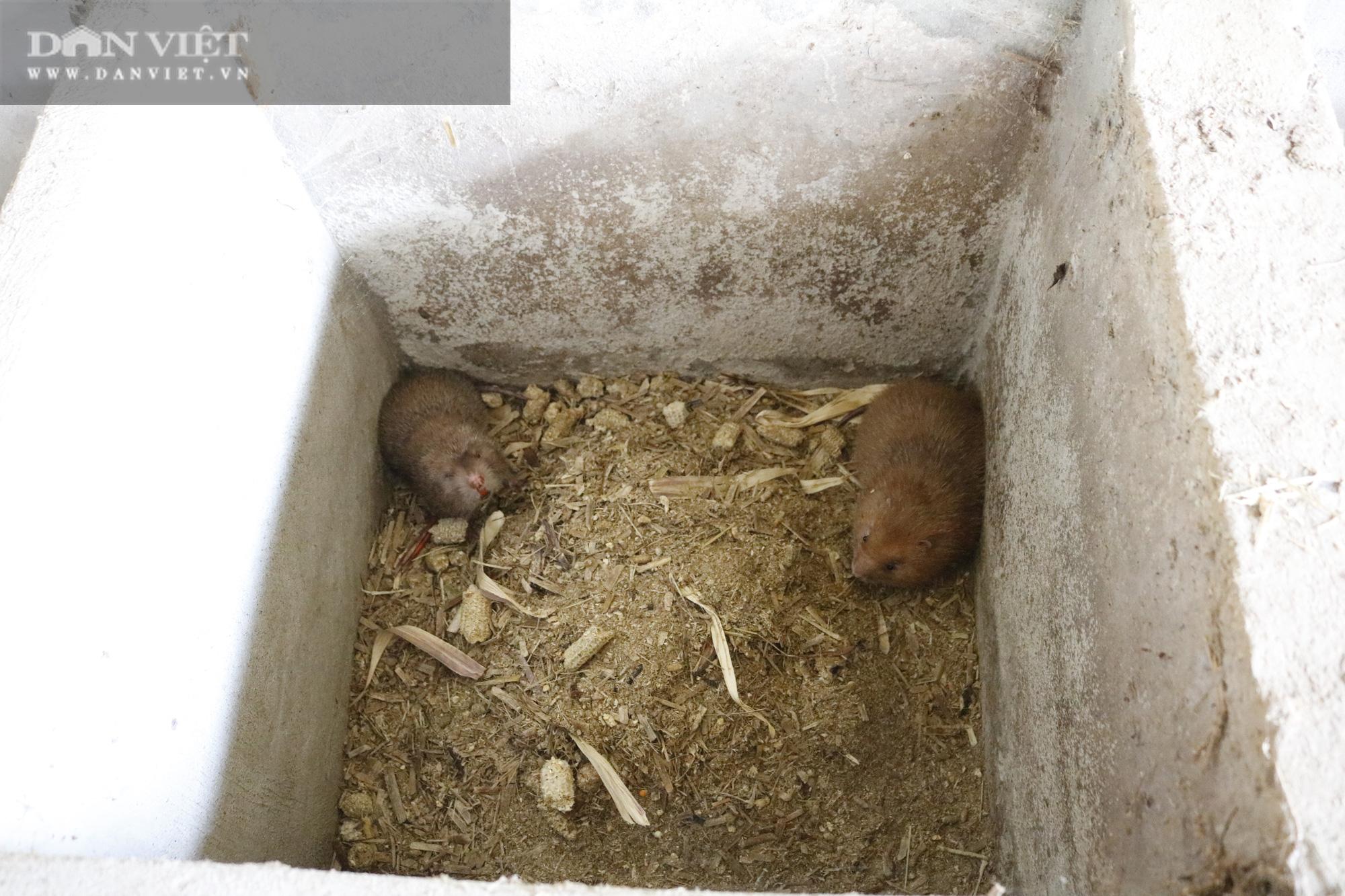 Mang con giống chuột ở rừng về nuôi, những thanh niên này bất ngờ đổi đời - Ảnh 4.