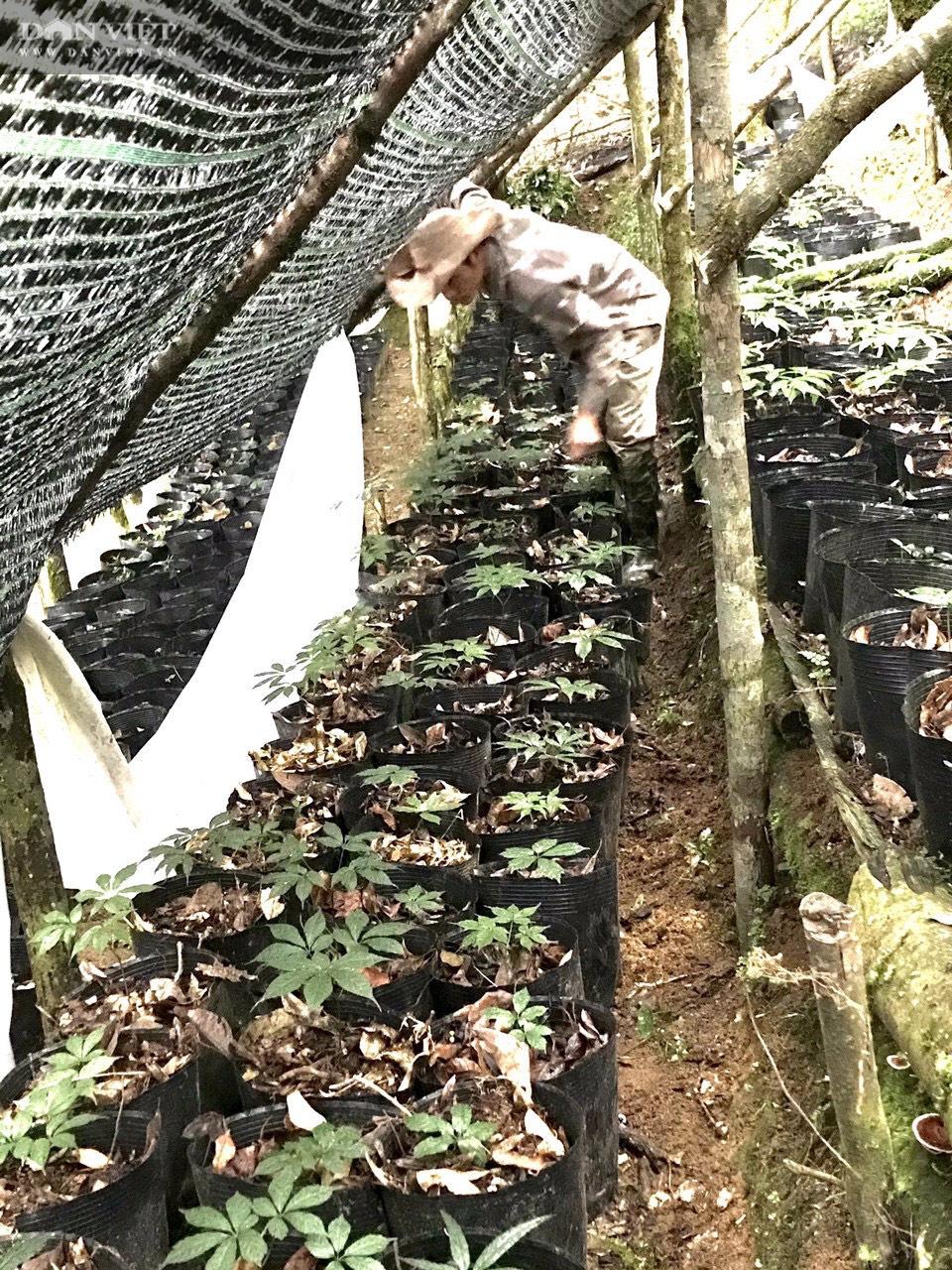 Kon Tum: Khuyến khích nông dân trồng và phát triển cây triệu đô - Ảnh 2.