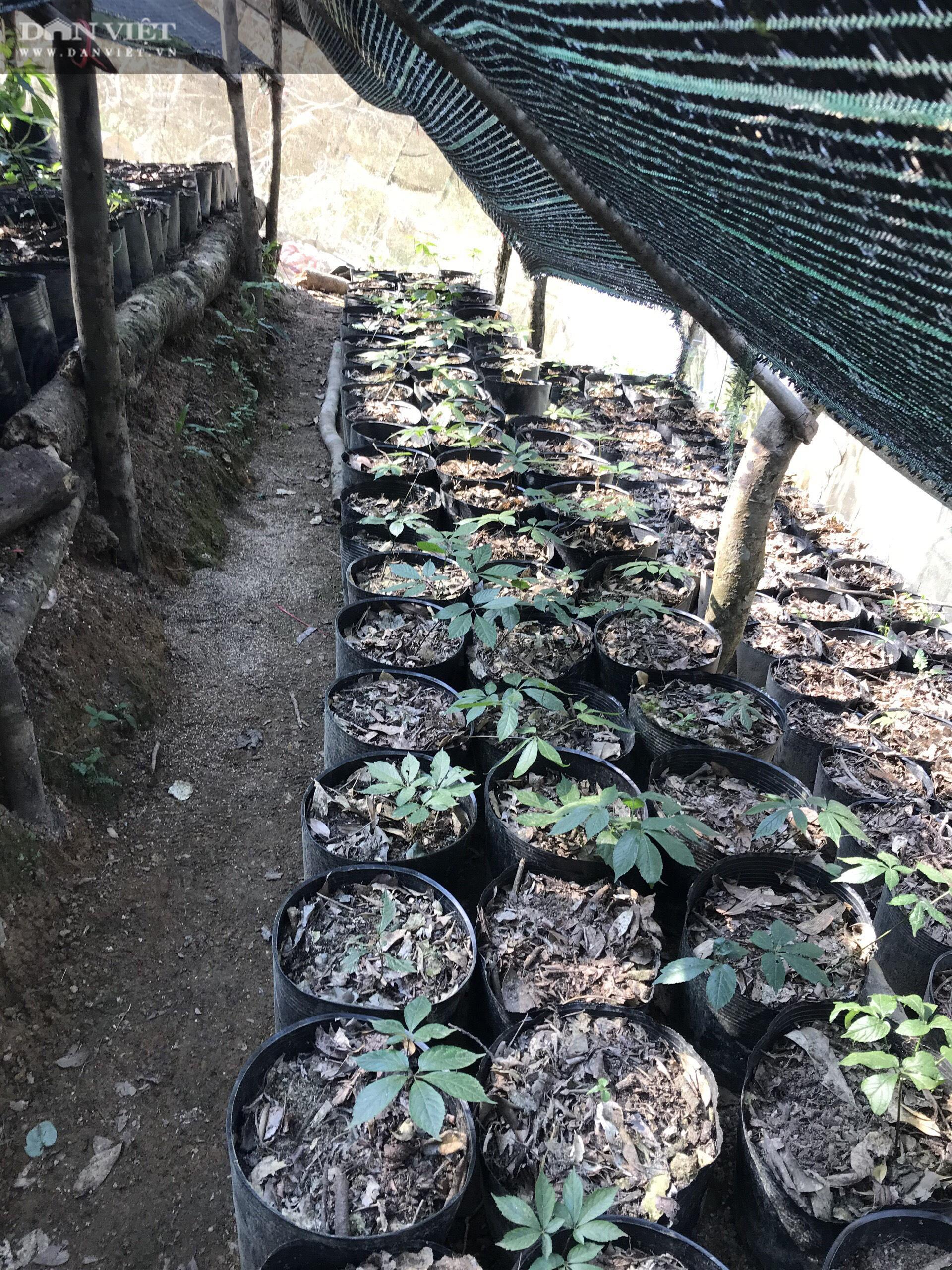 Kon Tum: Khuyến khích nông dân trồng và phát triển cây triệu đô - Ảnh 1.