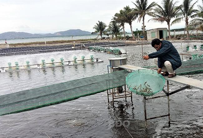 Bình Định: Nuôi tôm theo công nghệ gì mà có 1,5 sào ao nông dân bắt bán tới 6 tấn tôm, lãi ròng 300 triệu? - Ảnh 1.