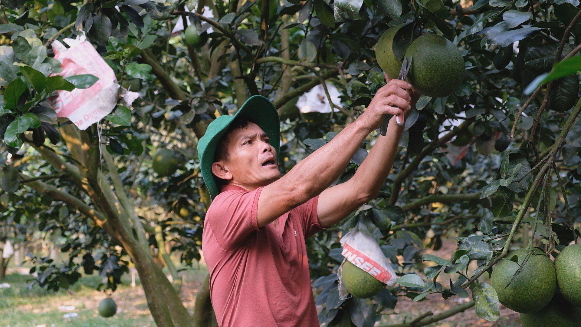 Sử dụng hỗn hợp này để trồng bưởi da xanh, lão nông này thu về tiền tỷ mỗi năm - Ảnh 2.