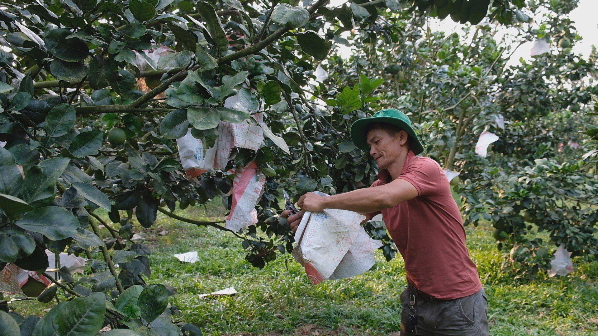 Sử dụng hỗn hợp này để trồng bưởi da xanh, lão nông này thu về tiền tỷ mỗi năm - Ảnh 4.