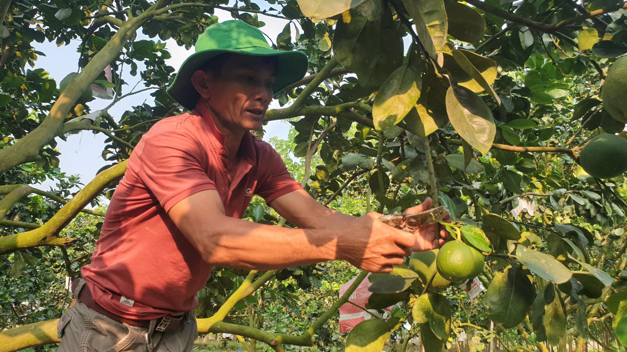 Sử dụng hỗn hợp này để trồng bưởi da xanh, lão nông này thu về tiền tỷ mỗi năm - Ảnh 1.