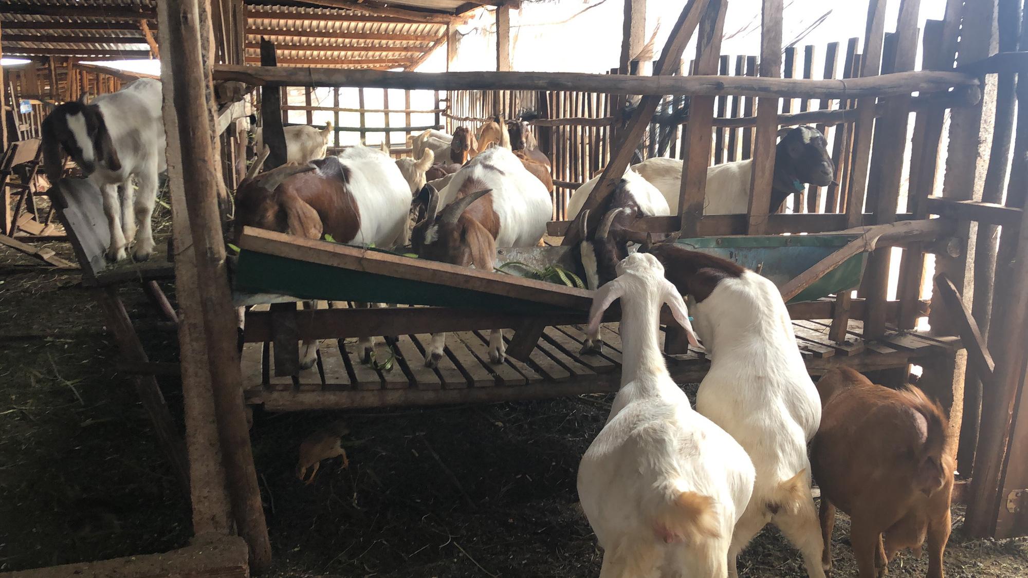 Lãi hàng trăm triệu đồng/năm vì nuôi dê Bo, nông dân bật mí kinh nghiệm - Ảnh 5.