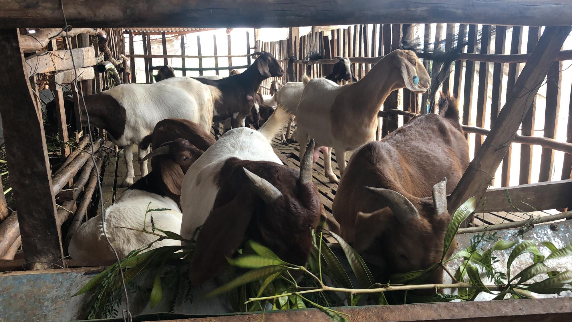 Lãi hàng trăm triệu đồng/năm vì nuôi dê Bo, nông dân bật mí kinh nghiệm - Ảnh 2.