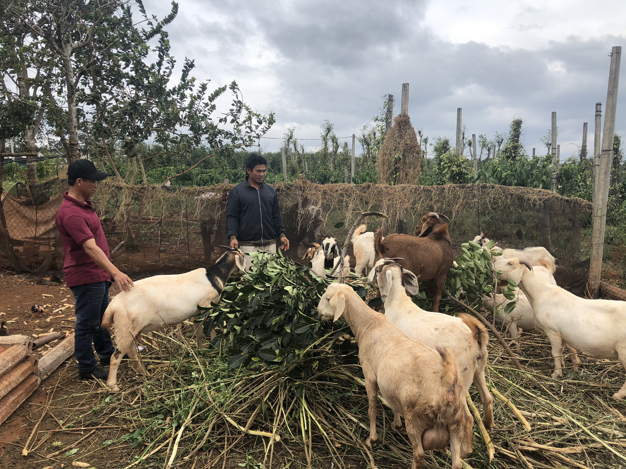 Lãi hàng trăm triệu đồng/năm vì nuôi dê Bo, nông dân bật mí kinh nghiệm - Ảnh 4.