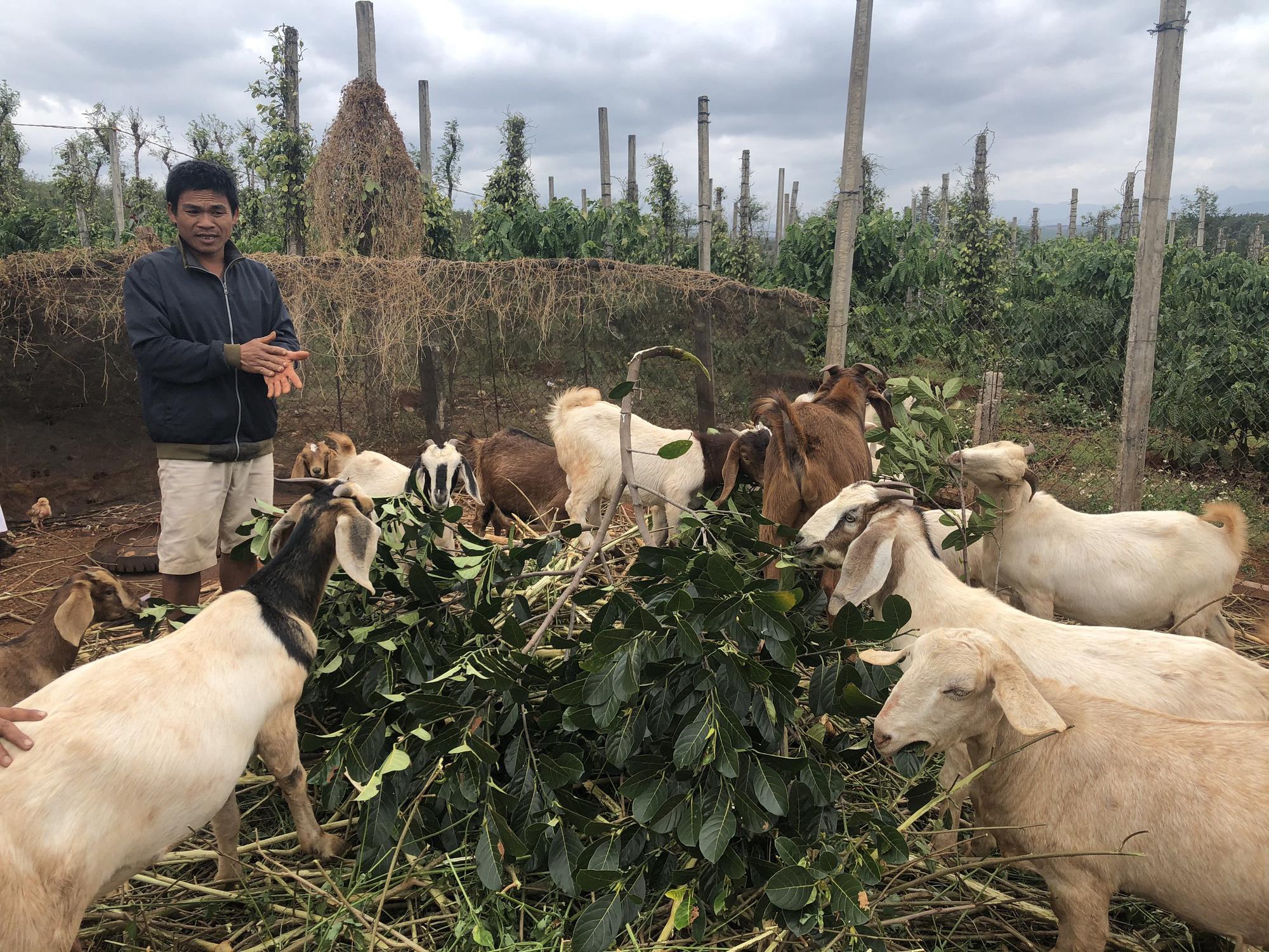 Lãi hàng trăm triệu đồng/năm vì nuôi dê Bo, nông dân bật mí kinh nghiệm - Ảnh 1.
