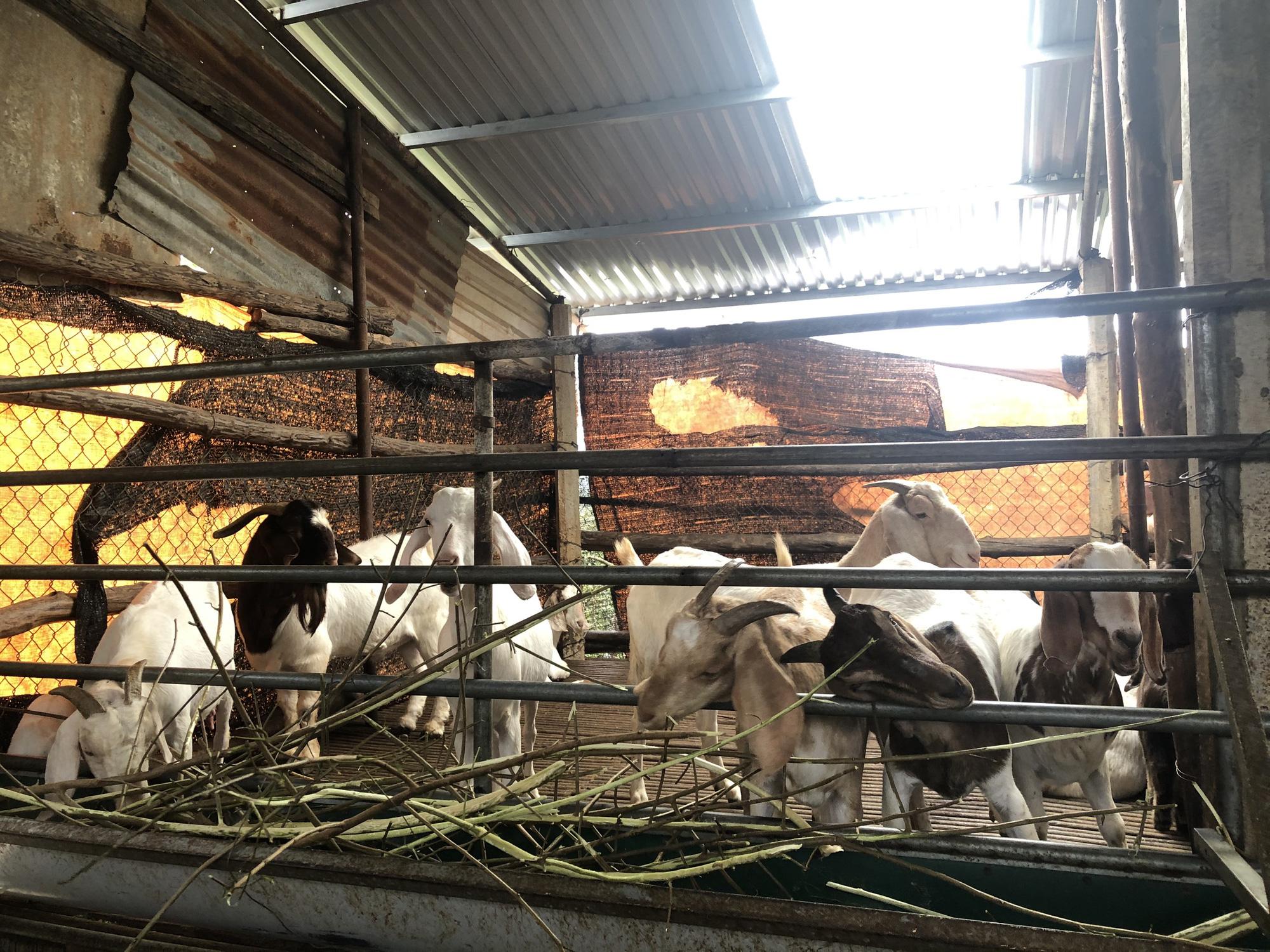 Lãi hàng trăm triệu đồng/năm vì nuôi dê Bo, nông dân bật mí kinh nghiệm - Ảnh 3.