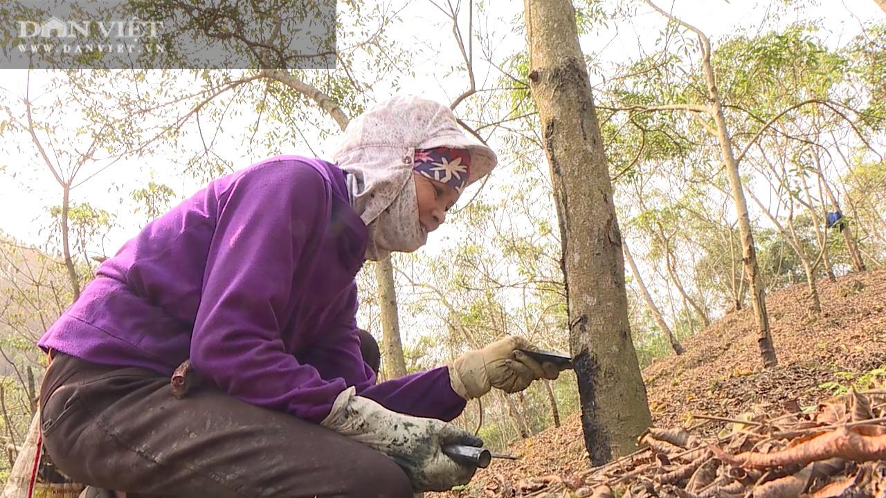 Nhiều năm giá thấp định chặt bỏ, nhựa cây này bỗng được giá, nông dân mừng rơn - Ảnh 1.