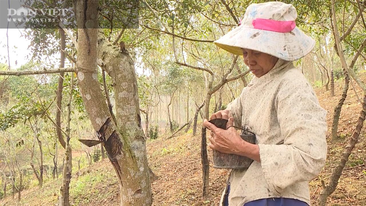 Nhiều năm giá thấp định chặt bỏ, nhựa cây này bỗng được giá, nông dân mừng rơn - Ảnh 4.