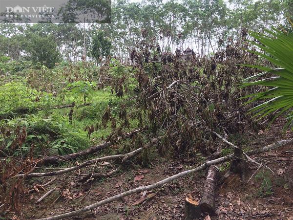 Nhiều năm giá thấp định chặt bỏ, nhựa cây này bỗng được giá, nông dân mừng rơn - Ảnh 2.