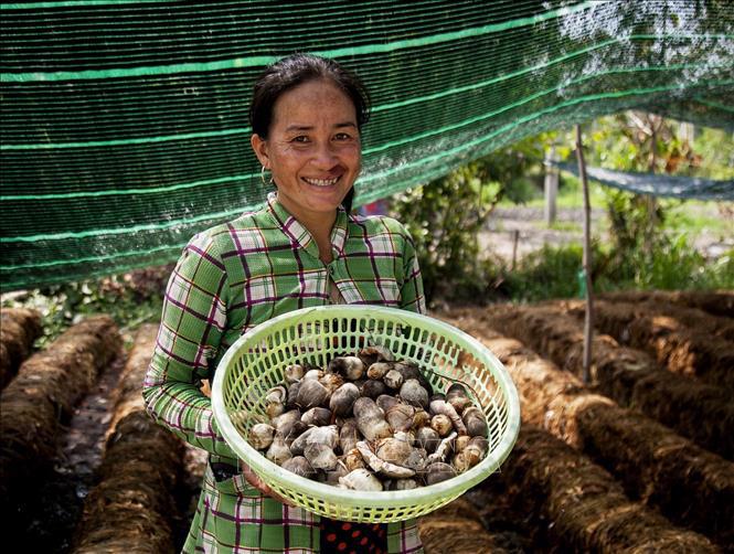 Trồng nấm rơm giúp người dân Khmer ổn định kinh tế - Ảnh 2.